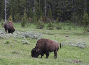 Bison everywhere!