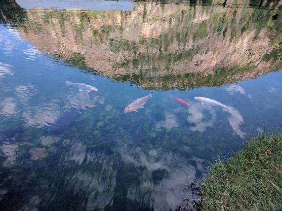 Big fish in the koi pond